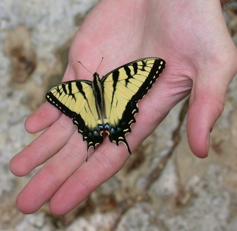 Jerico butterfly in the hand