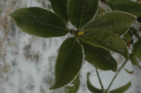 Magnoliaice
